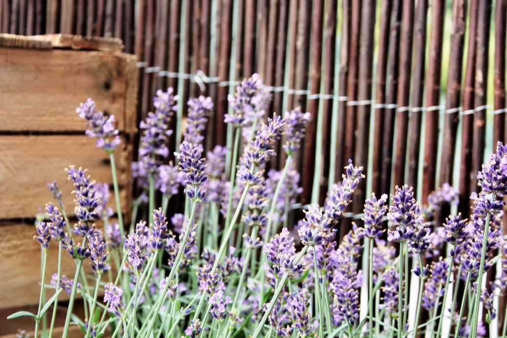 Buitenleven Relaxen Lavendel : Afrikaantjes en lavendel buitenlevengevoel