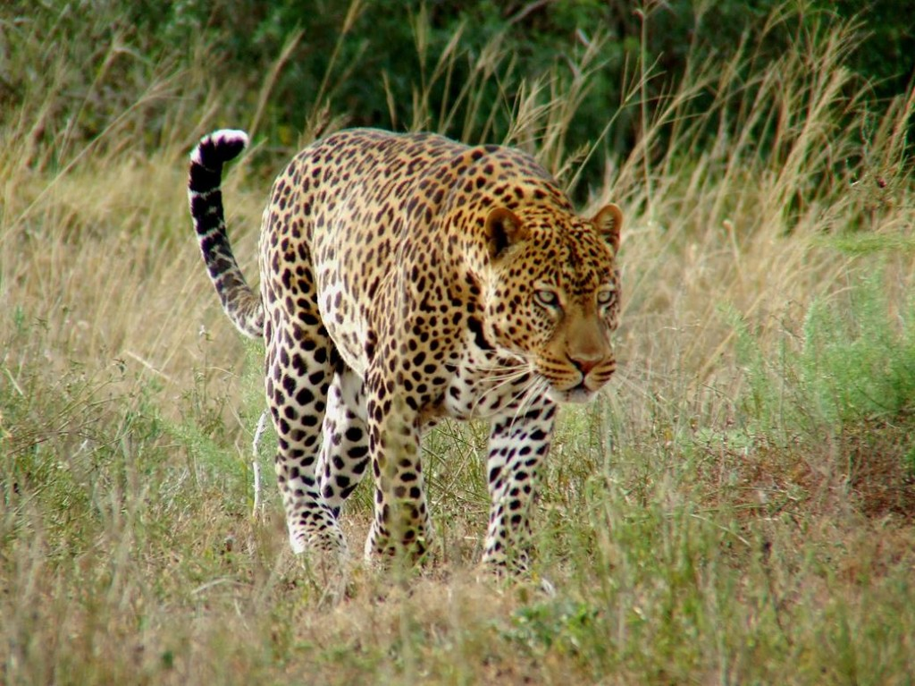 Afrika luipaard