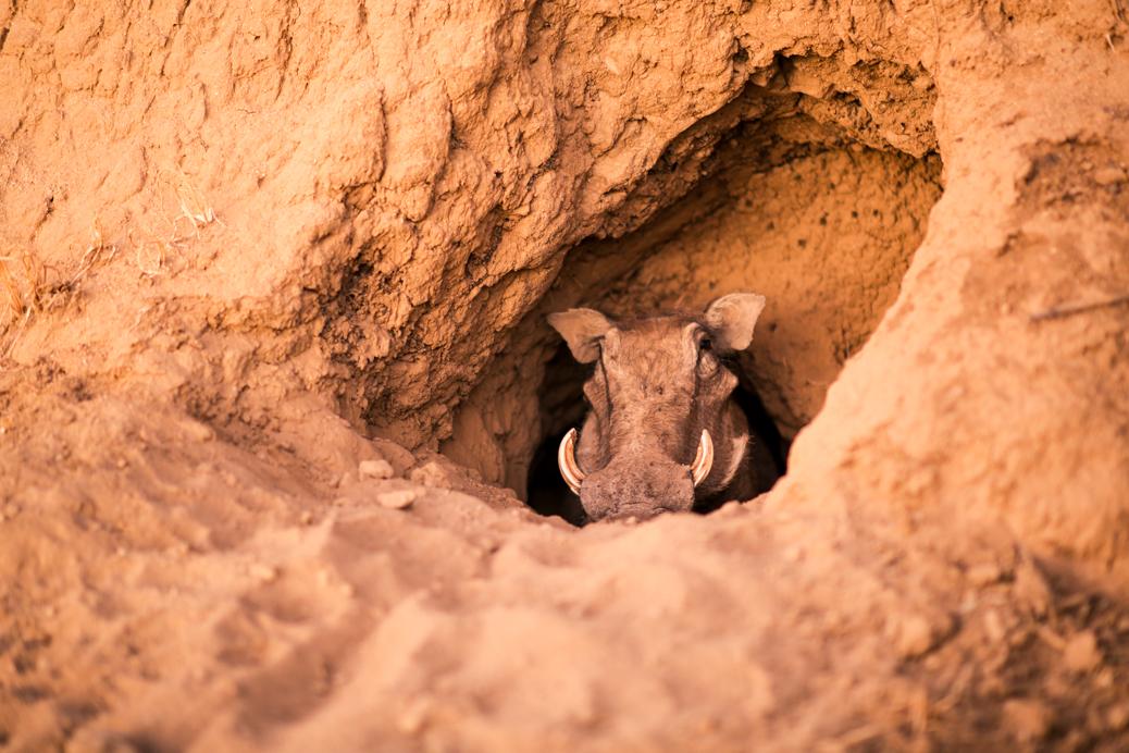 okonjima warthog