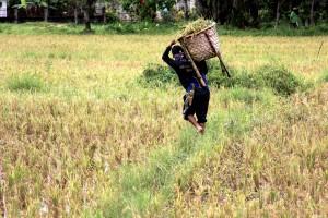 Rice Fields Bohol