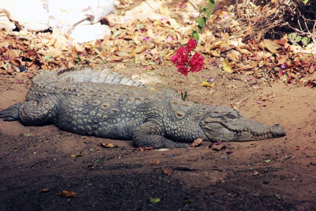 krokodil gambia