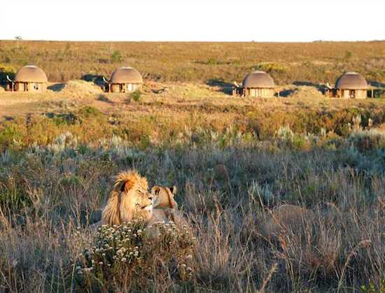 gondwana-game-reserve-kwena-huts-and-lions