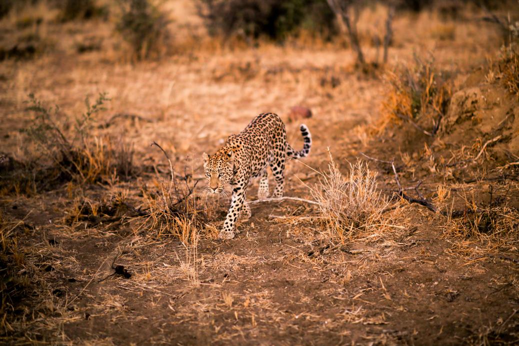 Okonjima luipaard