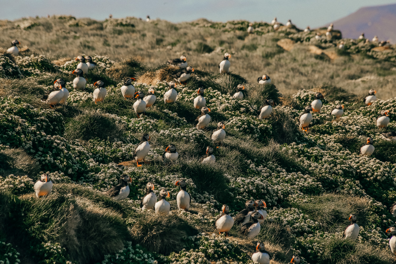 papegaaiduiker puffin ijsland