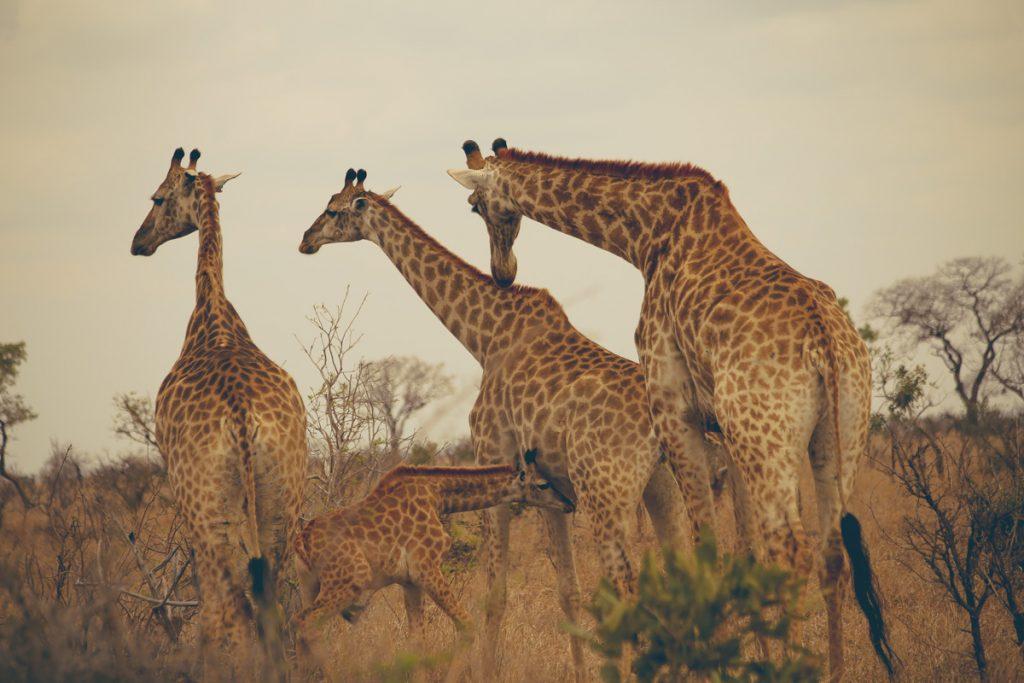 kruger zuid-afrika